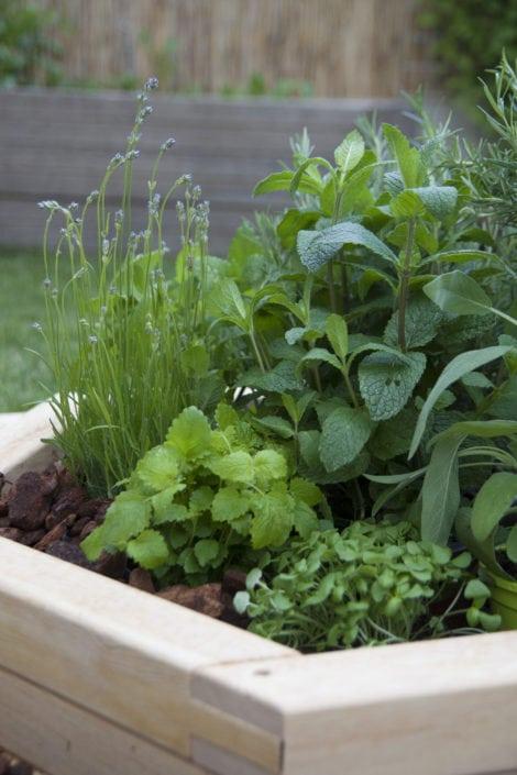 domácí zahrádka, pěstování doma, domácí bylinky, máta, meduňka